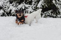 Two small dogs are playing on fresh snow