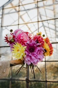 Beautiful colorful dahlia flowers