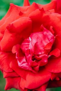 Kaboompics - Red roses flower