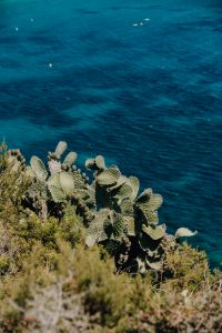 Kaboompics - Prickly pear grows on a cliff by the sea