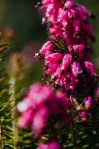 Kaboompics - Spring heath