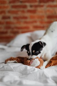 Kaboompics - Little young black and white dog on the bed