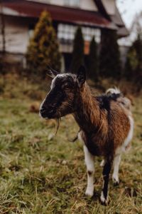 A cute brown goat on pasture
