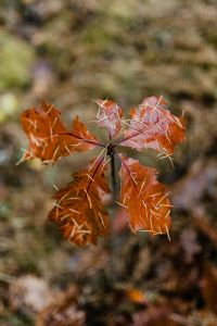 Kaboompics - Red oak leaves covered with needles