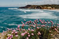 Kaboompics - Cluster of Pink Flowers Growing at the Ocean's Edge, Portugal