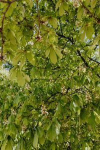Kaboompics - Blooming chestnuts in spring