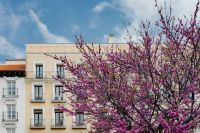 Kaboompics - Judas trees in blossom at springtime in Madrid, Spain