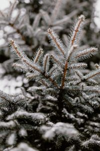 Branches covered with fresh snow // Spruce, Coniferous Tree