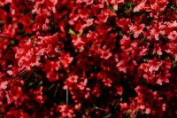 Kaboompics - Red tiny flowers on the bush