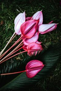 Kaboompics - Anthurium and Sago Palm
