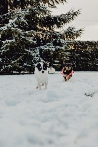 Kaboompics - Small dogs play on the snow
