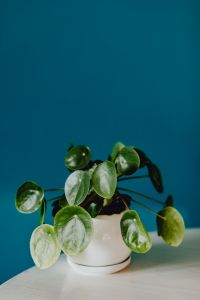 A small Pilea plant in a white pot