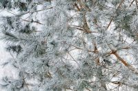 Kaboompics - Branch covered with snow - background - wallpaper