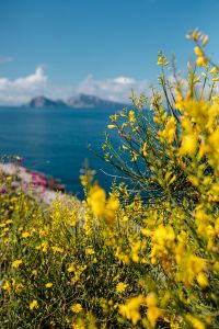 Wild flowers from Amalfi Coast