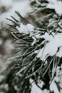 Close-ups of snowy trees