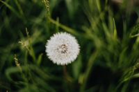 Kaboompics - Dandelions in green grass
