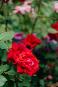 Kaboompics - Red roses flowers