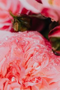 Kaboompics - Rose petals with water drops - flower