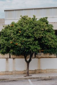 Oranges on the tree, Lagos, Portugal