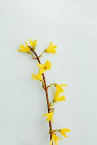 Kaboompics - Forsythia - Easter Tree