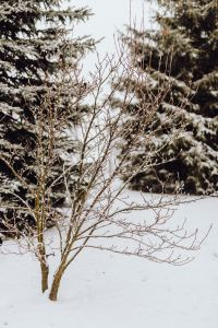 Branches covered with fresh snow // Magnolia, Coniferous Tree