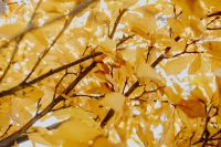 Kaboompics - Yellow leaves of magnolia in autumn
