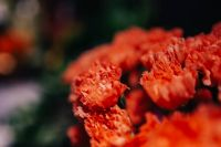 Kaboompics - Close-ups of red flowers