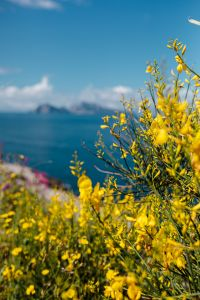 Kaboompics - Yellow Genista radiata flowers