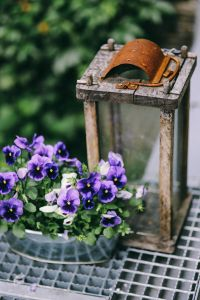Kaboompics - Blue viola flowers with an old empty lantern