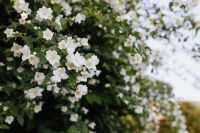 Kaboompics - False jasmine, mock-orange, Philadelphus in bloom