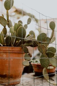Kaboompics - Opuntia in a ceramic pot