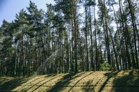 Kaboompics - Pine trees in a wood with dappled sunlight