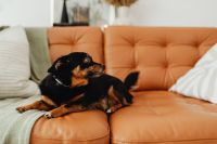 Kaboompics - Small black dog on couch