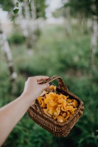 Kaboompics - Picking mushrooms chantarelle in the woods