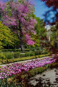 Kaboompics - A blossoming Jacaranda mimosifolia tree and purple tulips