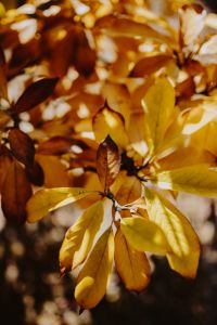 Yellow leaves of magnolia in autumn