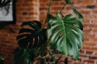 Green leaves of Monstera plant growing at home