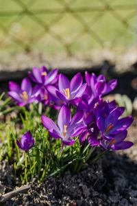 Kaboompics - Purple crocuses blooming in spring