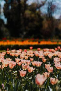 Kaboompics - Pink tulips flowers
