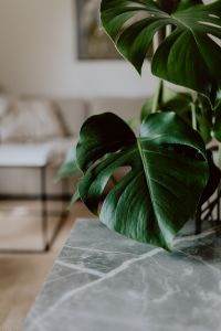 Kaboompics - Dark green leaves of monstera and marble