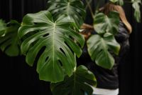 Kaboompics - A large monstera plant in a pot
