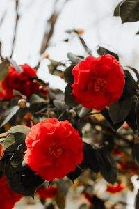 Kaboompics - A beautiful blooming red rose in Madrid Botanic Garden
