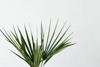 Kaboompics - European fan palm
