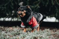Kaboompics - Small dog with warm jacket