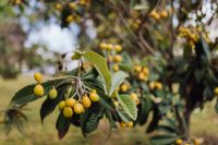 Kaboompics - Mirabelle plum, also known as mirabelle prune or cherry plum