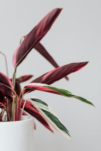 Kaboompics - Calathea Triostar on a white background