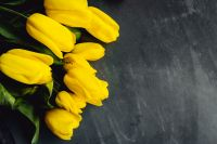 Yellow tulips on grey background with copy space