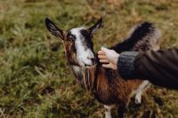 Kaboompics - A woman petting a lovely brown goat