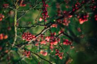 Kaboompics - Red rowan on trees