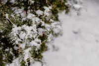 Branches covered with fresh snow // Yew, Coniferous Tree
